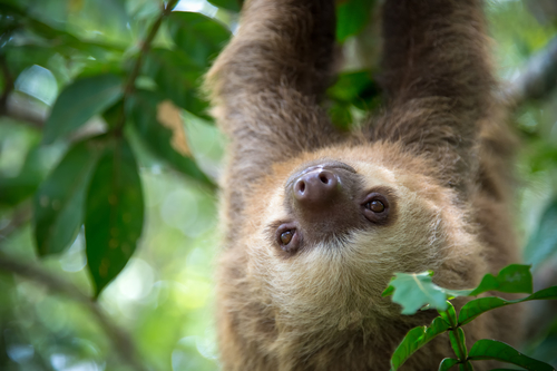 hold a sloth in costa rica
